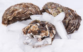 Oysters on ice — Foto Stock