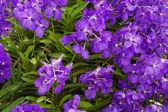Lila orkidéer — Stockfoto