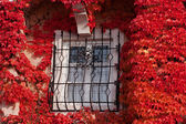 Window with red vine plant — Stockfoto