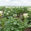 Flowering potato plants — Stock Photo #46079037