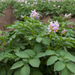 Flowering potato plants — Stock Photo #46079079
