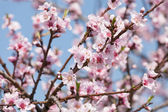 Branch with cherry blossoms — Stock Photo