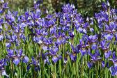 Purple Irises — Stock Photo