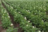 Flowering potato plants — Stock Photo
