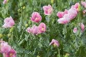 Pink poppy field — Stock Photo