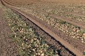 лук поле — Стоковое фото