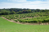 Vineyard on a hill — Stock Photo