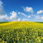 Flowering rapeseed field — Stock Photo