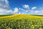 Flowering rapeseed field — Stockfoto