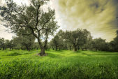 Olives tree in a green field and dramatic sky — Stock Photo