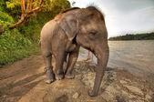 Elephant near the river — Stock Photo
