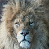 Male Lion portrait — Stock Photo