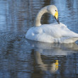 Whooper Swan — Stock Photo