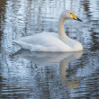 Stock Photo: Whooper Swan