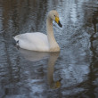 Whooper Swan — Stock Photo #40432525