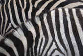 Zebra background — Stock Photo