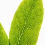 ������, ������: Leaf veins macro