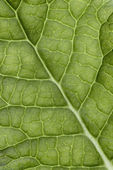 Leaf veins macro — Stock Photo