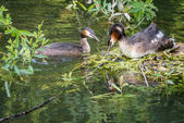 Great Crested Grebe and nest — Stock Photo