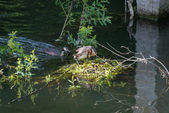Great Crested Grebes and nest — Stock Photo
