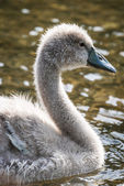 Swan cygnet — Stock Photo