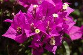 Bougainvilleas flowers — Stock Photo