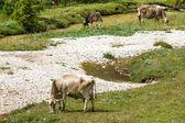 Bovines grazing — Stock Photo