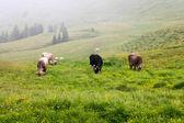 Cows grazing  — Stock Photo