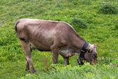 Vaca pastando — Foto de Stock