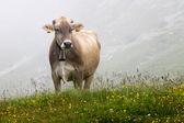 Cow grazing  — Stock Photo
