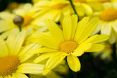 Close up of Arnica Flower — Stock Photo
