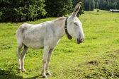 White donkey — Stock Photo