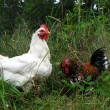Stock Photo: Small rooster and hen