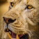 Lion — Stock Photo #40988621