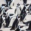 Stock Photo: Penguins