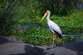 Yellow-billed Stork — Stock Photo