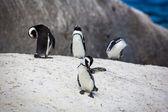 Grooming Penguins — Stockfoto