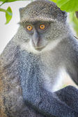 Blue Monkey — Stock Photo