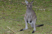 Jervis Bay National Park - Kangaroo — Stock Photo