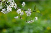Cherry blossom on blurred green background, selective focus — Photo