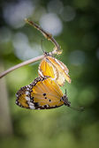 Butterflies mating — Stock Photo