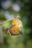 Fjärilar parning — Stockfoto