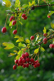 Hawthorn on branch — Stock Photo