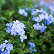 Blossom blue flower look fresh. — Stock Photo #42274107