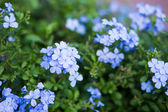 Blossom blue flower look fresh. — Stock Photo