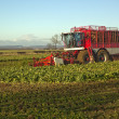 Stock Photo: Harvesting Sugar Beet,in Lincolnshire,UK