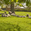 Stock Photo: Sheep in dappled shade.