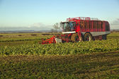 Harvesting Sugar Beet,in Lincolnshire,UK — Stock Photo
