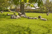 Sheep in dappled shade. — Stock Photo