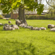 Stock Photo: Contented Sheep in spring pasture